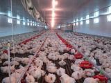 Strumentazione automatica dell'azienda agricola nella Camera del pollame con il disegno economico