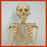model van het Skelet van de Anatomie van 85cm het Menselijke voor Onderwijs