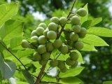 Sapindus Mukorossi Auszug, Sapindus-Auszug, Saponine 40%, 70% durch UV