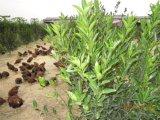 Le bétail et de la volaille d'amélioration de la croissance sur l'élevage de poulet