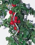 Apuestas Apuestas de la planta de tomate en espiral