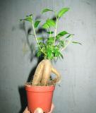 소형 Ficus (HBH-R01)