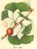 Экстракт листьев Ginkgo Biloba Ginkgo Flavone гликозиды, Terpene Lactone