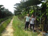 バナナの植わることで使用されるUnigrowの土改善