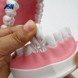 Les jouets des enfants modèles dentaires de pépinière balayant la démonstration dentaire de structure de dents