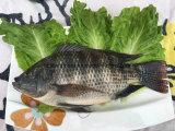 凍結する全円形の黒いイズミダイの魚