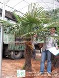 Palma Trachycarpus Fortunei del mulino a vento