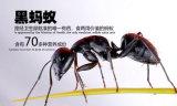 100%の純粋で自然で黒い蟻の粉のないエキス