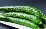 De groene Zaden Van de Certificatie kleur en van de Totem F1 Hybride Plantaardige van de Komkommer