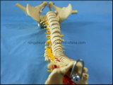 Verkaufsschlager-menschlicher Dorn-Skeleton Anatomie-Modell für Ausbildung