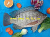 Tilapia Vissen van Professionele Tilapia Fabriek in China