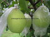 Pera verde fresca de Ya de la nueva cosecha