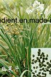 Tubercule oignon Seed Extract extrait de la quercétine poudre Poireau