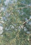 Weiße Weide-Barke-Auszug 10%-98%Salicin für die API Antientzündungs