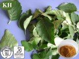 10 De haute qualité : 1, 20 : 1 Extrait de feuilles de bouleau
