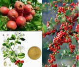 Qualitäts-Weißdorn-Beeren-Auszug mit Flavon für Nahrungsmittelergänzung