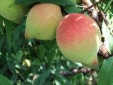Croissance de plantes d'Unigrow pour toute plante fruitière