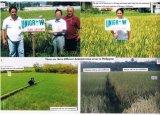 Il bio- fertilizzante organico di Unigrow su riso che pianta, resiste allo scoppio del riso ed alla ruggine del fodero