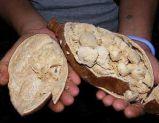 Poudre normale d'extrait de baobab de 100%