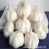 Buona qualità dell'aglio di nuovo sapore fresco del raccolto forte