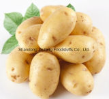 Frische Kartoffel mit gutem Preis für den Export