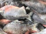 Interi pesci castagna rossi congelati superiori