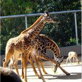 Edelstahl-Zoo-Ineinander greifen-Edelstahl-Scheibe-Seil-Ineinander greifen