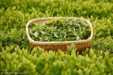 Organische Groene Polyphenol 30%-98% van het Poeder van het Uittreksel van de Thee