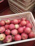 Alta qualità FUJI Apple (mela di Qinguan, mela di Huaniu)