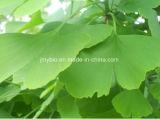 Выдержка листьев Ginkgo кислоты 5% Ginkgolic, лактоны терпена 6%