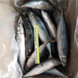 De nieuwe Vangende Bevroren Verse Vreedzame Makreel 300-500g van de Makreel voor de Markt van Egypte en van Afrika