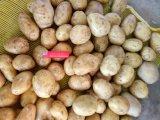La pomme de terre/frais pomme de terre avec la meilleure qualité