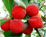 고품질 빨간 베이베리 나무 추출 Myricetin 80% 98%