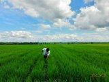 Bio fertilizante de Unigrow para a plantação do arroz