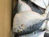 凍結する太平洋Moonfish (seleneのperuvianus)