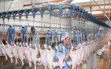Chicken automatico Slaughtering Machine in Cina