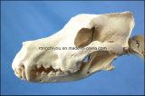 O laboratório de esqueleto canino modelo do indicador do cão do tamanho padrão da instrução ensina animais veterinários