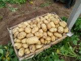 La nouvelle récolte de pommes de terre fraîches en provenance de Chine