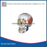 Modèle de squelette, la taille de la vie crâne humain avec le modèle de coloration musculaire