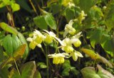 Extrait organique d'Epimedium d'Icariin d'herbe de nature