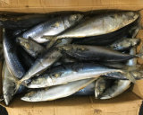 Rond entier de poissons Pacifiques gelés de maquereau