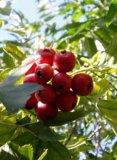 Hawthornの葉のエキスのフラボン