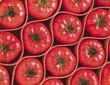 Nueva cosecha de tomate fresco Venta caliente tomates de alta calidad de tomate rojo