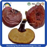 Fabrication en gros Ganoderma Lucidum Hot Sell