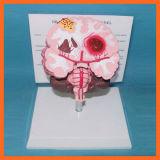 Modèle de démonstration de rappe de cerveau de pathologies pour le cadeau pharmaceutique