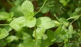 Menthol naturel de haute qualité et naturel
