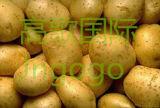 Chinois Big pomme de terre fraîches de bonne qualité