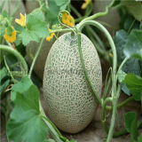 Grüner Tee E-Flüssigkeit Aroma/Würze/Aroma für DIY Ejuice 30ml Nulle flüssiges Paket von der China-Saft-Fabrik