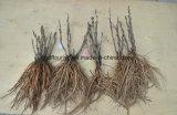 Arbre de semis de pivoine chinois / Pivoine racine tubéreuse de tubercules de l'ampoule