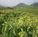 味及び芳香のための100%の自然なボルネオールの精油